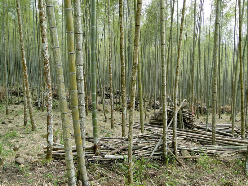 Bamboo_forest,_Taiwan